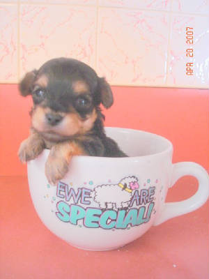 Yorkie  Puppies on Yorkie Poo Bella S Page